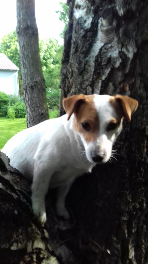 Jack Russell Terrier w akcji