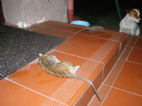 Polowanie na szczura