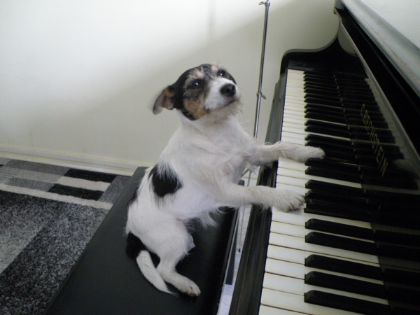 Jack Russell Terrier – pianistka
