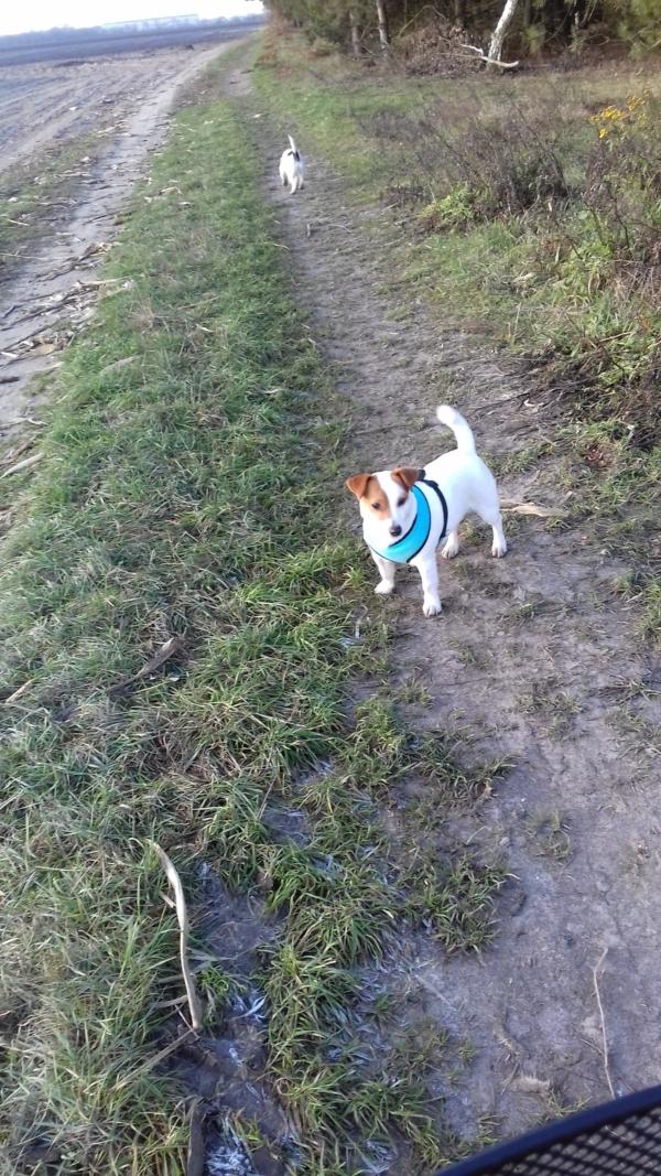 Aria i Suita - Jack Russell Terriers - na tropie saren