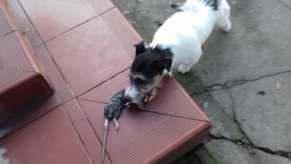 Hurrra! Mamy szczura.