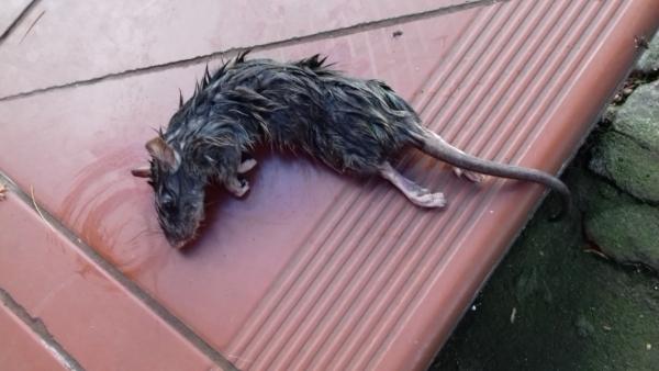 Martwa myszarka zaroślowa Apodemus sylvaticus