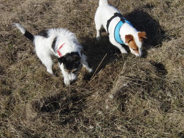 Aria i Suita węszą na polu