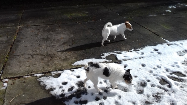 Aria ukryta na tle topniejącego śniegu