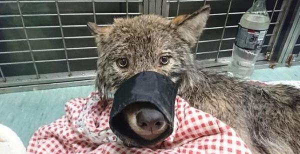 Wilk ze związanym pyskiem