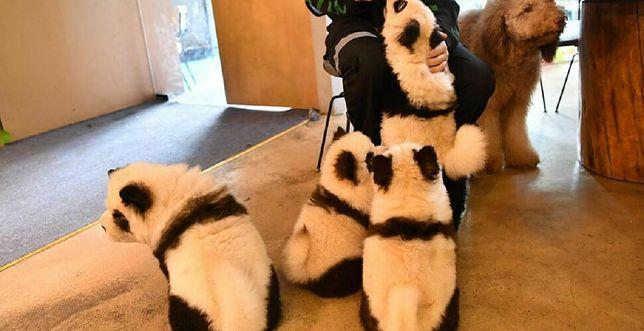 Pandy w kawiarni
