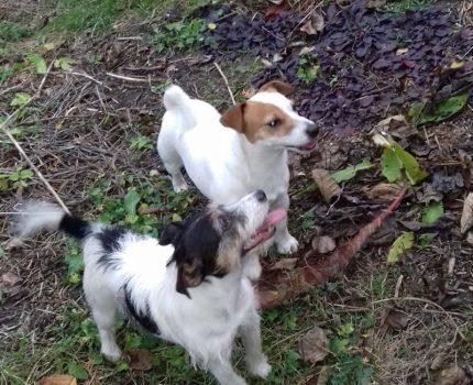 Psy w Stajence