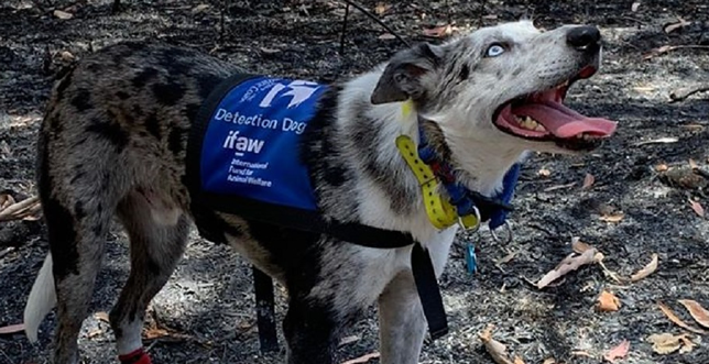 Pies Niedźwiedź ratujący misie koala