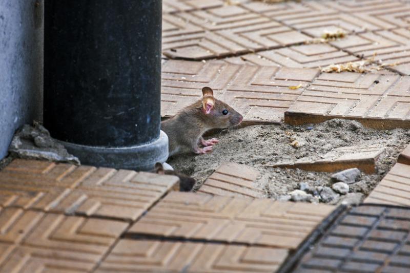 Dożywianie szczurów