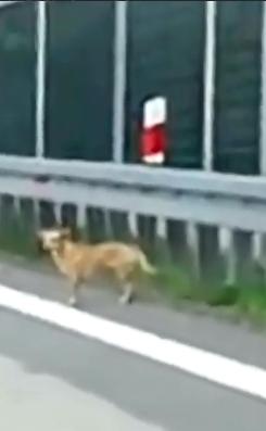 Policyjna eskorta dla psa