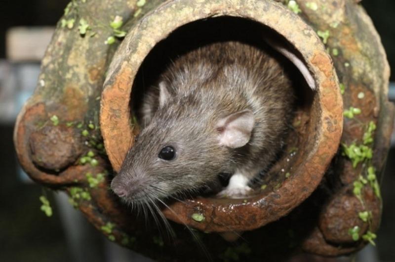 Plaga szczurów
