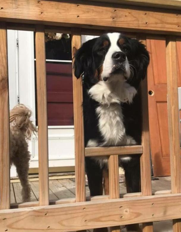 Prześwit w balustradzie dla psa