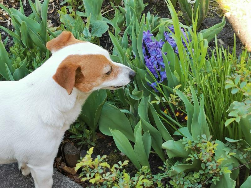 Tulipany, szafirki, niezapominajki…