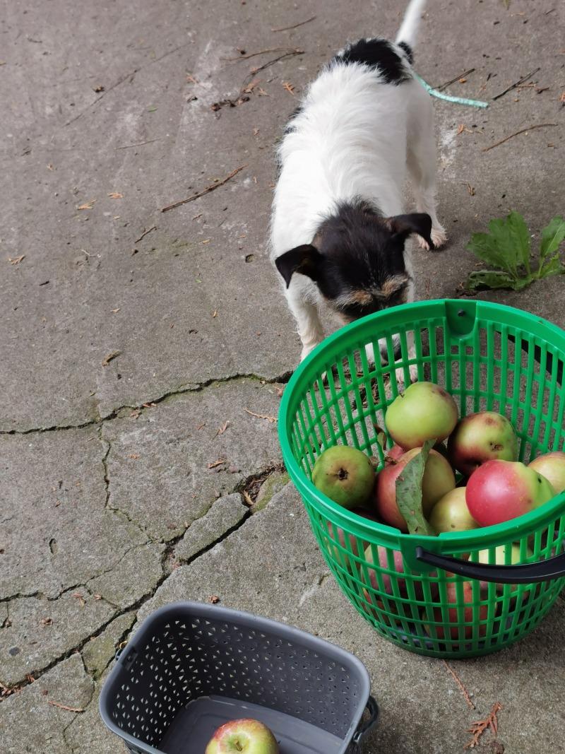 Zbiór ekologicznych  jabłek.